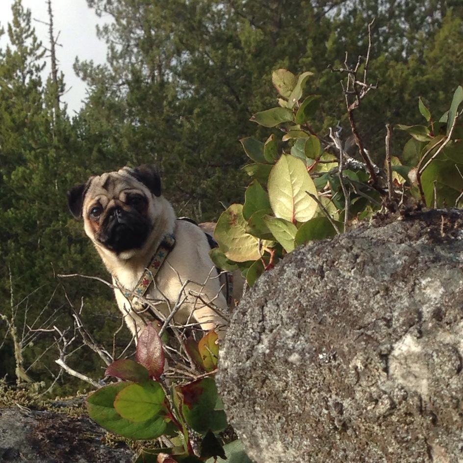 Leon le Pug